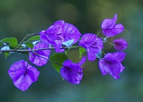 Fresh Seed Blue Bougainvillea